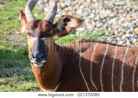 Owslebury, United Kingdom - November 02 2017:   A Mountain Bongo with magnificent horns sitting in sunshine