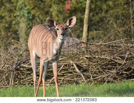 A bongo staring straight at the photographer