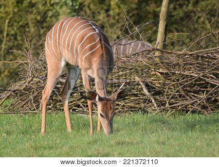 An Eastern bongo grazing on the grass