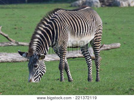A grevys Zebra grazing on the grass