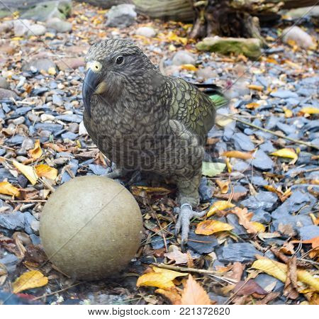 A Kea parrot playing with a ball