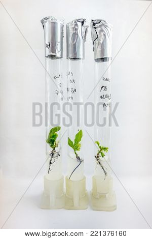 Microplants of cloned oak (Quercus Robur L) in test tubes with nutrient medium using micropropagation technology in vitro