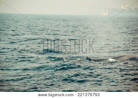 Wild blue whale swimming in indian ocean. Wildlife nature background. Space for text. Adventure tourism. Travel tour. Mirissa, Sri Lanka. Exploration, expedition concept. Explore the world