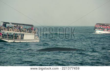 Whale watching tour. Wild blue whale swimming in indian ocean. Wildlife nature background. Space for text. Adventure travel, tourism industry. Mirissa, Sri Lanka. Exploration concept. Explore world