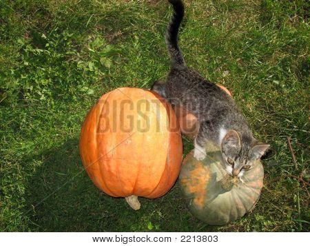 Cat Among Pumpkins