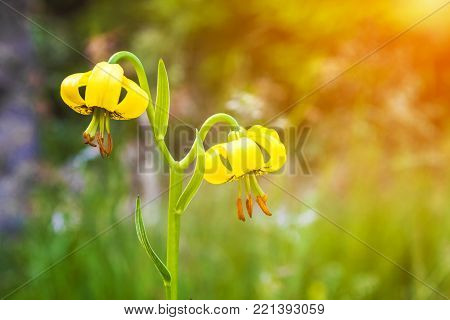 Yellow lily flowers in mountain - Lilium jankae,  with golden glow from the sun. Unique endemic species of the Balkan Peninsula.