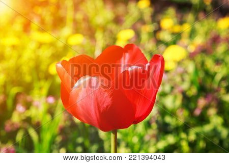 Blooming red tulip in the spring on a blurred natural background with golden glow from the sun.