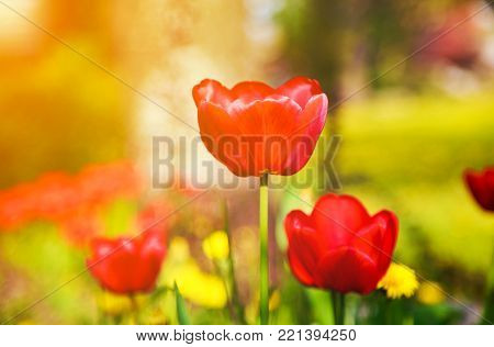 Blooming red tulips in the spring on a blurred natural background with golden glow from the sun.