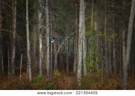 Pica pica. Expanded in Eurasia, North Africa and North America. Photographed in Finland. Wildlife of Finland. Autumn nature. Beautiful picture. Autumn. Finland. Karelia. Free nature.