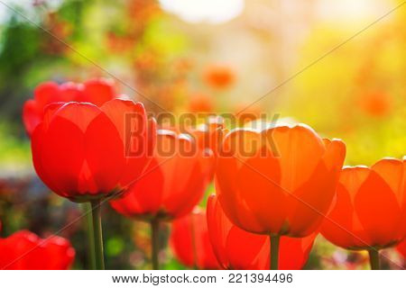 Blooming red tulips in the spring on a blurred background with golden glow from the sun.