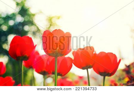Bright red tulip flower with lens flare and a white a copy space. Can  use it for a spring, love or wedding concept with golden glow from the sun.