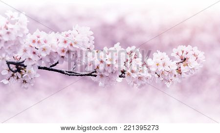 Cherry Blossoms Blooming In Spring. Spring Background. Cherry Blossoms In Nature With Soft Focus.
