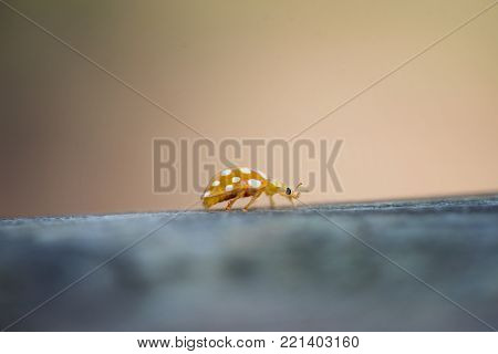 orange colored ladybird with white spots, crawling on a wooden board. background with copy space. selective focus. Halyzia sedecimguttata.
