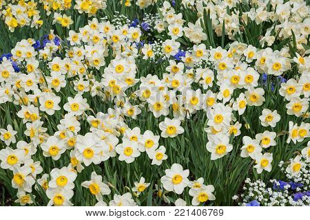 flowerbed with many bichrome narcissus flowers in white and yellow