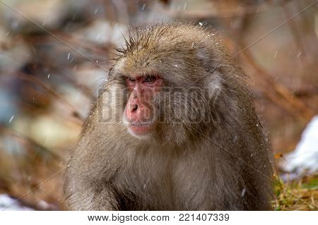 A Japanese Macaque, or Snow Monkey, sits along a mountain path in Yamanouchi, Nagano, Japan, near the famed Jigokudani Monkey Park.  These monkeys are still wild, and while they like to stay in the park for the winter, there is nothing stopping them from