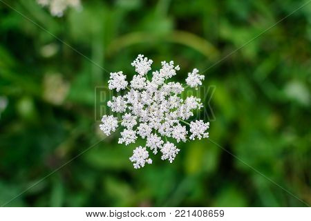 Umbellate inflorescence of white flowers on a blurred background macro photo