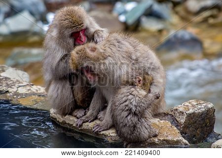 A group of Japanese Macaques, or snow monkeys, sit on the edge of a hot spring.  In the winter, the monkeys seek out springs like this to stay warm.  These monkeys are the northern most non-human primates in the world.