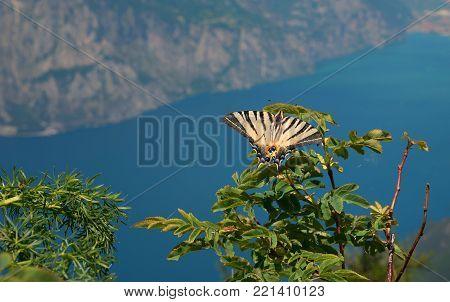 rarely Swallowtail butterfly in summer, Iphiclides podalirius. wildlife, shot at monte baldo mountain, lake garda in the background