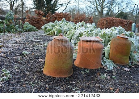 Frost covered rhubarb forcing pots in the winter