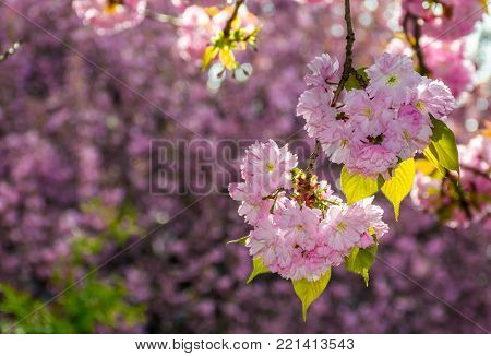 pink flowers on the branches of Japanese sakura blossomed in garden in spring
