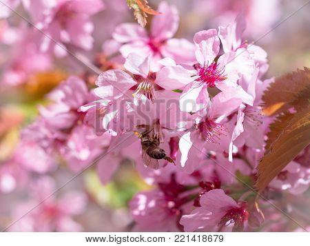 Insect bee flew to branch of cherry blossoms, collecting nectar. A Sunny day in the spring. Pollination