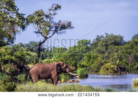 African bush elephant in Kruger national park, South Africa, Specie Loxodonta africana family of Elephantidae