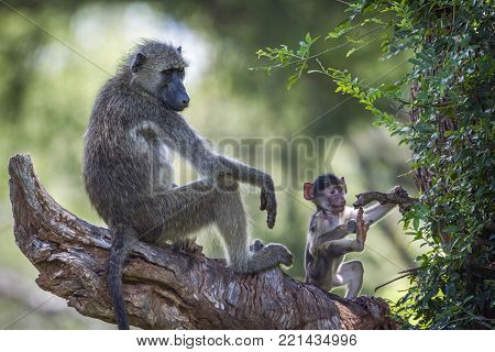 Chacma baboon in Kruger national park, South Africa, Specie Papio ursinus family of Cercopithecidae