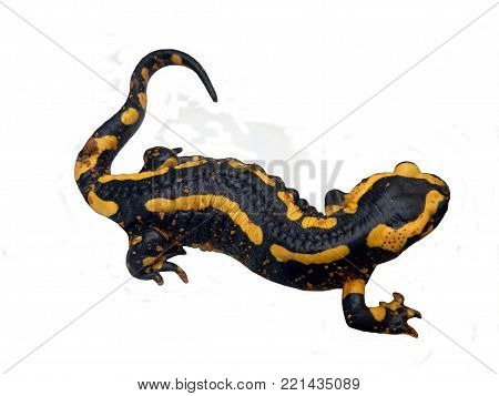 Fire Salamander (Salamandra salamandra) covered in tiny grains of sand, isolated on a white background