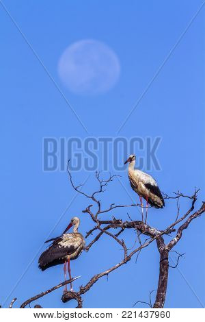 White stork in Kruger national park, South Africa, specie Ciconia ciconia family of Ciconiidae