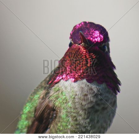 Ruby throat hummingbird with shiny violet feathers up close.