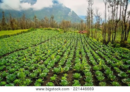 Rows of cabbage growing in a field in a fertile volcanic soil on a high plateau in the Gunung Bromo vicinity, Java, Indonesia
