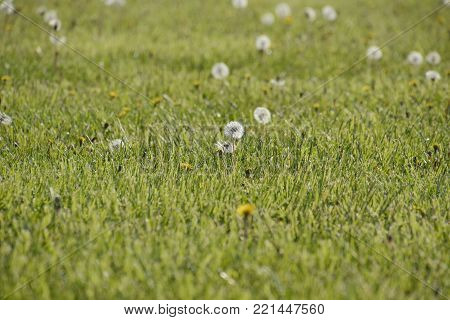 Dandelions in a meadow. Field of fluffy dandelions.