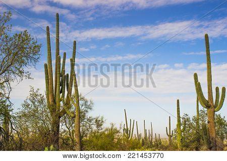 Tall Saguaro Cactus In Arizona Desert With Blue Sky Background