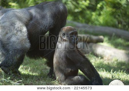 Juvenile Silverback Gorilla seating next to his Father poster