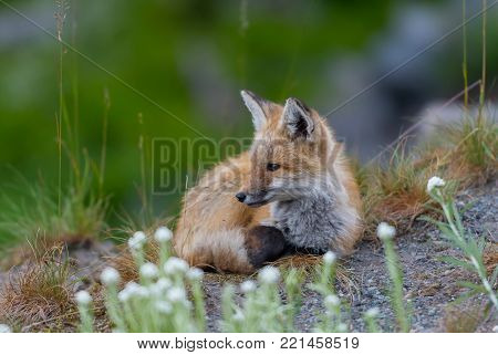 Young Red Cascades Fox Listens Attentively in alpine meadow