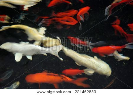 Vague blur silhouette and contours of white and red carp in black water, abstract design background.