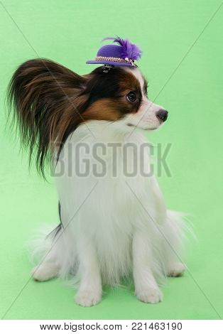 Beautiful young continental spaniel papillon in a hat with a feather on a green background