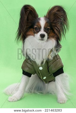 Beautiful young continental spaniel papillon in a winter jacket on a green background