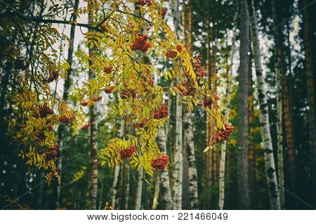 The branch of the mountain ash with bunch of red berries in the autumn forest among the yellow leaves.
