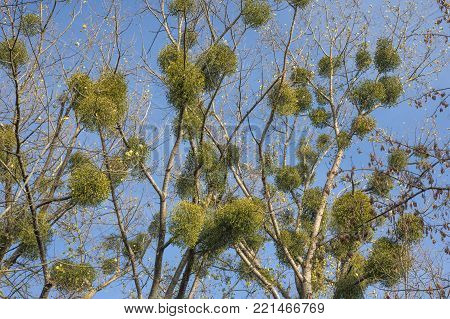 tall trees branches occupied by mistletoe parasitic plant