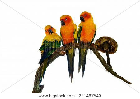 Three Beautiful Sun Conure parrot bird isolated on white background with clipping path.