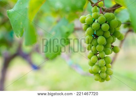 A bunch of green grapes for wine production in Thailand. Fresh grapes that have not yet ripened. Green grapes, waiting to be taken to produce wine.