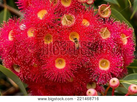 Red flowering gum blossoms of eucalyptus tree with honey bee collecting pollen