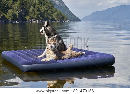 Cute red Siberian husky puppy and black and white adult husky with blue eyes floating on a mattress. Happy dogs.