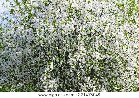 Spring blooming garden. Blooming in close-up.Blooming cherry tree.