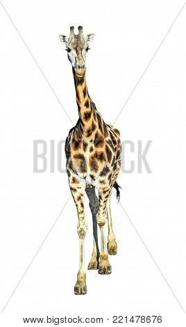 Young giraffe standing full length isolated on white background. Funny walking giraffe close up. Zoo animals isolated. Giraffe looking straight into the camera