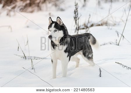 Siberian Husky dog black and white colour with blue eyes in winter on the snow. A pedigreed purebred dog