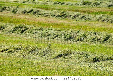 Mowed mountain meadow. Line of mowing grass. Pet food