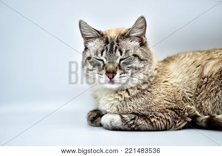Siamese cat snoozing on a white background.