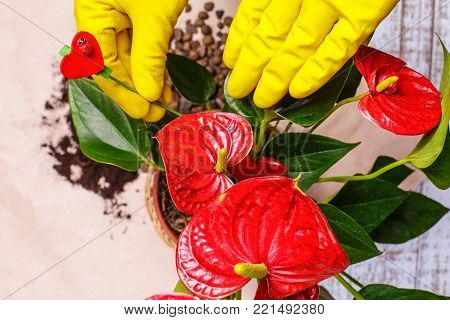 Transplanting houseplants Anthurium illustration of procedures and tools for caring for indoor plants.  The gardener takes care of the home garden and flowers.